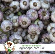 Most of the action on garlic, Dnipropetrovsk region