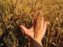 The millet variety is Cherished